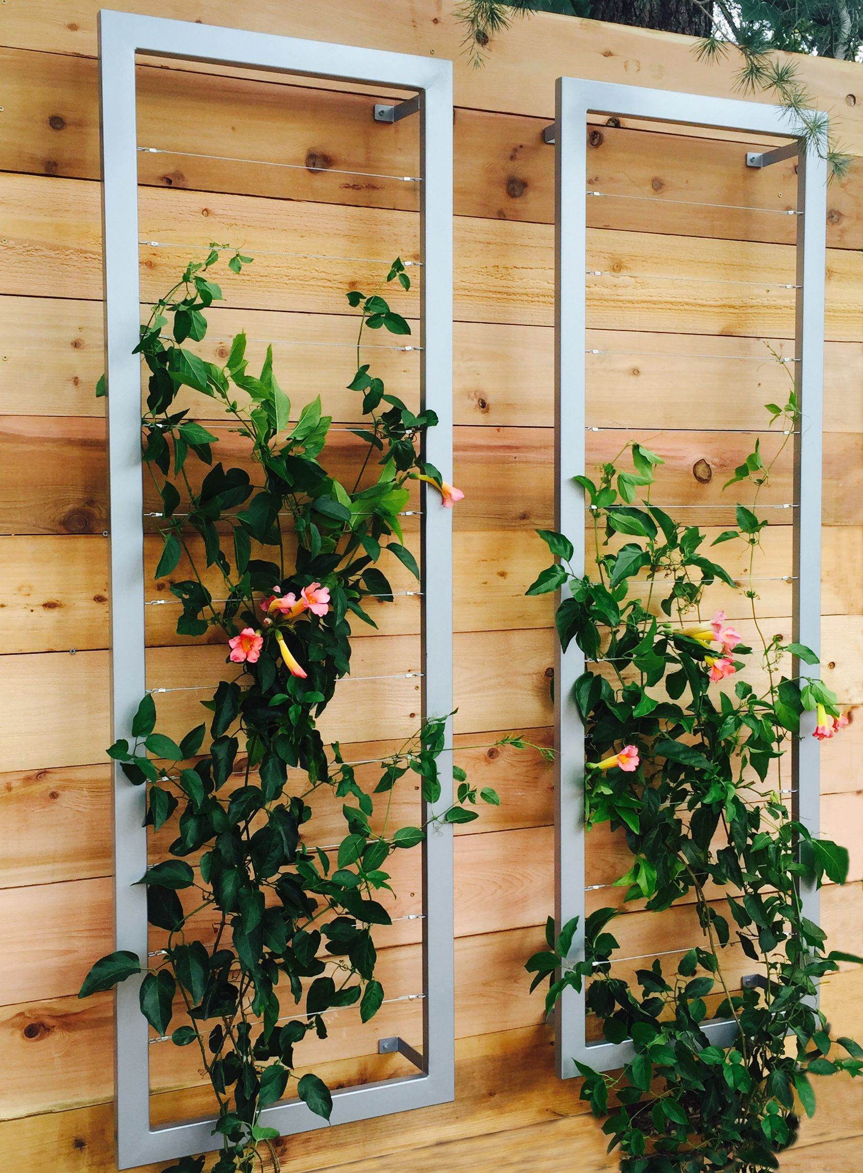 A Pair Of Ina Wall Trellises Create A Lovely Vertical Garden Tapestry Woven  With Beautiful Distictus/Trumpet Vines Against A Modern Garden Wall.