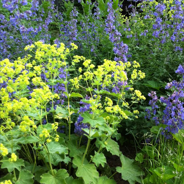 catmint nepeta x faassenii 39 walker 39 s low 39 and lady 39 s. Black Bedroom Furniture Sets. Home Design Ideas