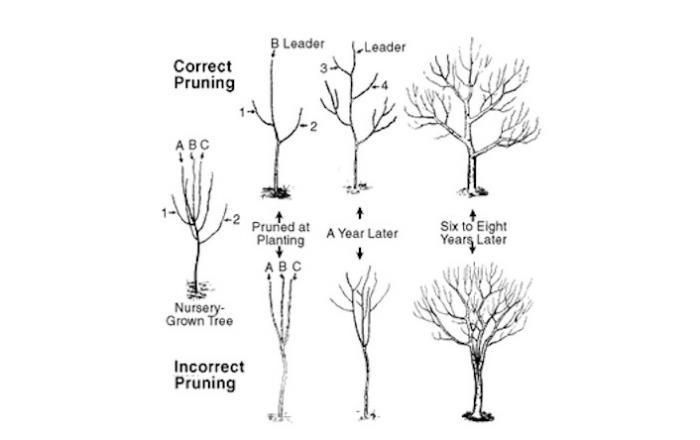 Ordinary When Do You Prune Fruit Trees Part - 13: Pruning Fruit Treesu2014choose Training System Shapes For Apple, Peach U0026 Cherry  Trees (and More) | Homesteading | Pinterest | Pruning Fruit Trees, Fruit  Trees ...