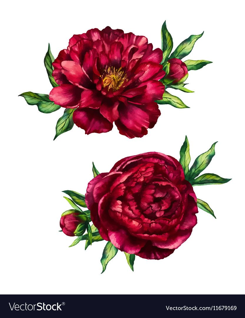 Set Of Watercolor Red Peonies Bouquets Flower Peony Watercolor Rose With Leaves Isolated On White Background Vector Watercolor Flowers Red Peonies Peony Art