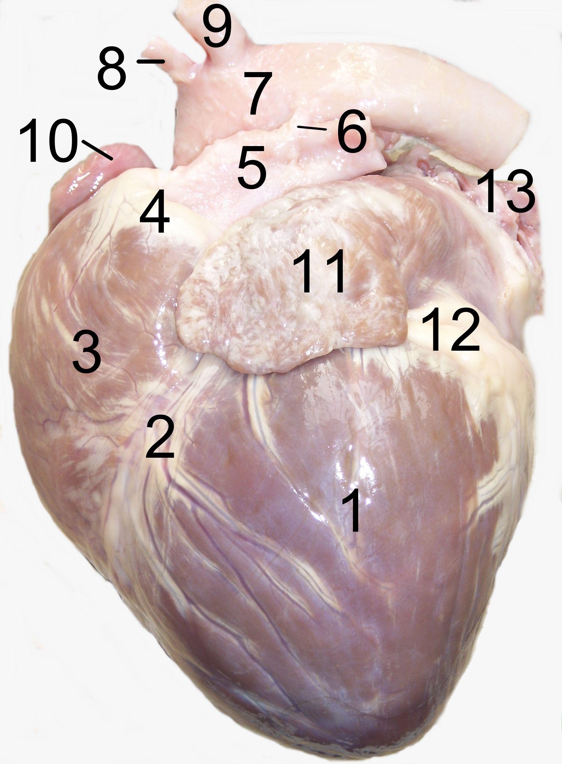 Doggie\'s heart / Corazón de perro visto desde la izquierda. 1 ...