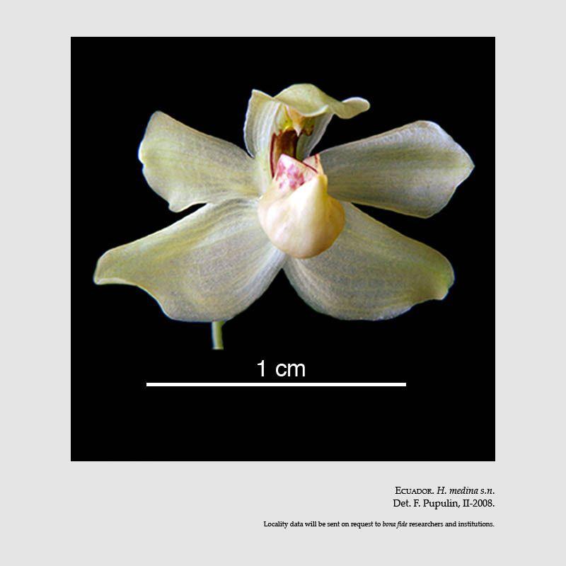 Stenia dodsoniana