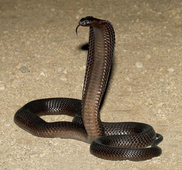 Black Cape Cobra (Naja nivea) | Pinterest | Black cape, Reptiles and ...