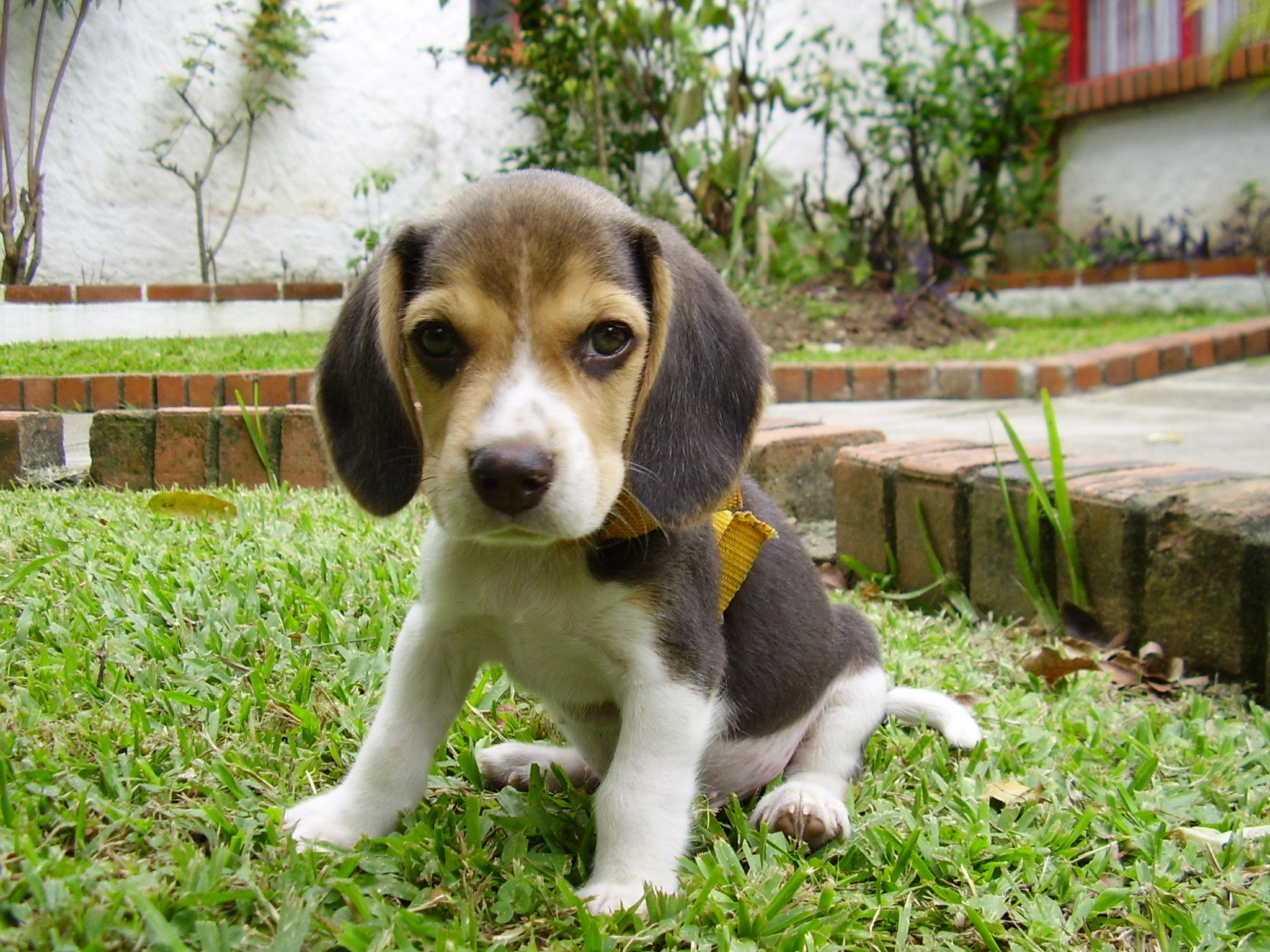 a proposal to designate the beagle as the vermont state dog has