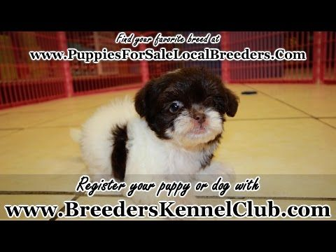Precious Chocolate And White Shih Poo Puppies For Sale In Georgia