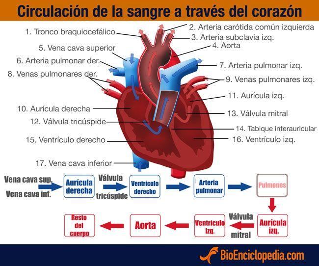 Circulación de la sangre a través del corazón   anatomia escuela ...