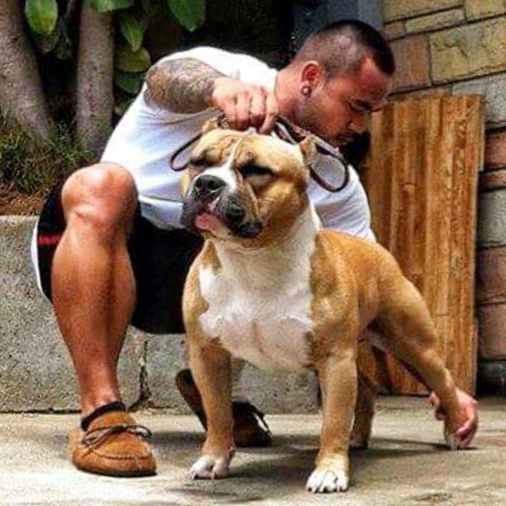 Americanbully Americanbully Bullybreed Bullyz Badass Dogs Animals Pitbull Pitsofinstagram Instadog Stron Bully Breeds Dogs Bully Dog American Bully