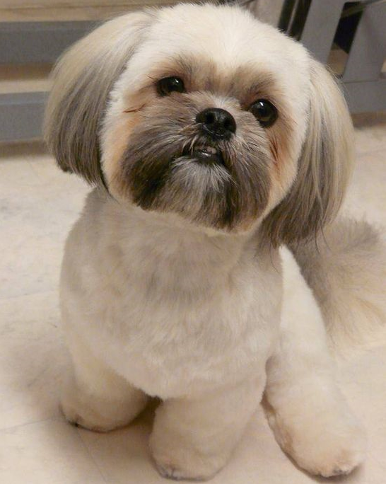 Styling Is Fun Everyone Loves To Look Up To Date And Try All The Accessories On Themselves Then Why Not Do Shih Tzu Grooming Shih Tzu Haircuts Shih Tzu Puppy