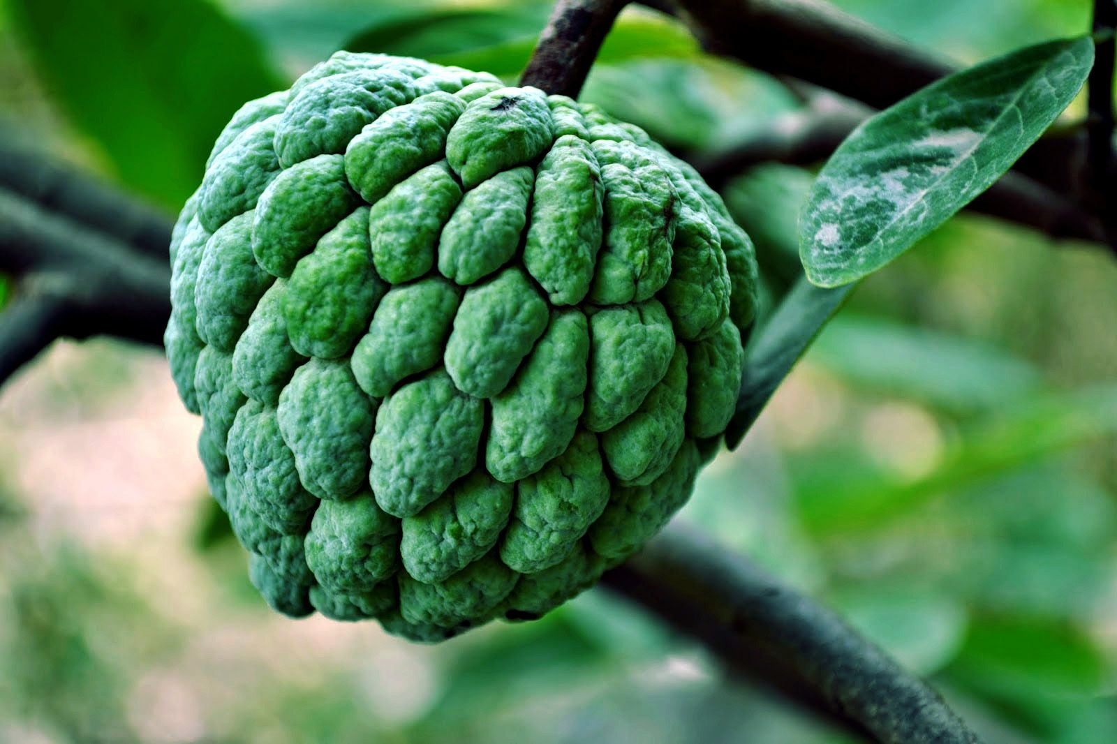How To Grow Custard Apple In Container Easy Tips By Nature Bring Naturebring Container Gardening Container Gardening Vegetables Apple Plant