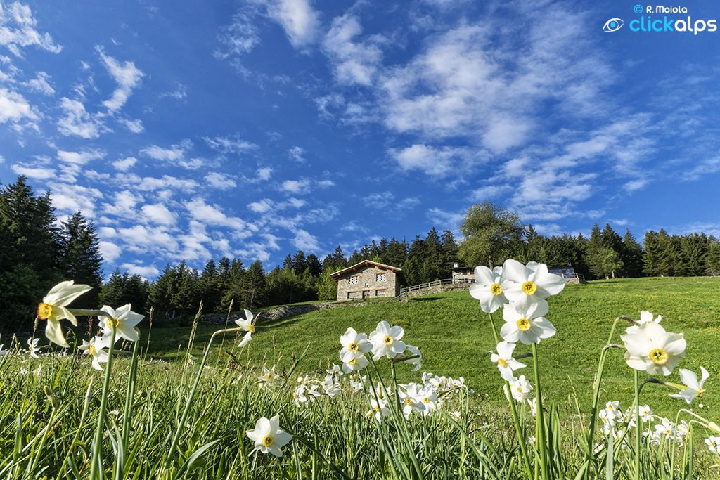 Alpine Daffodils by SysaWorld Roberto Moiola on 500px