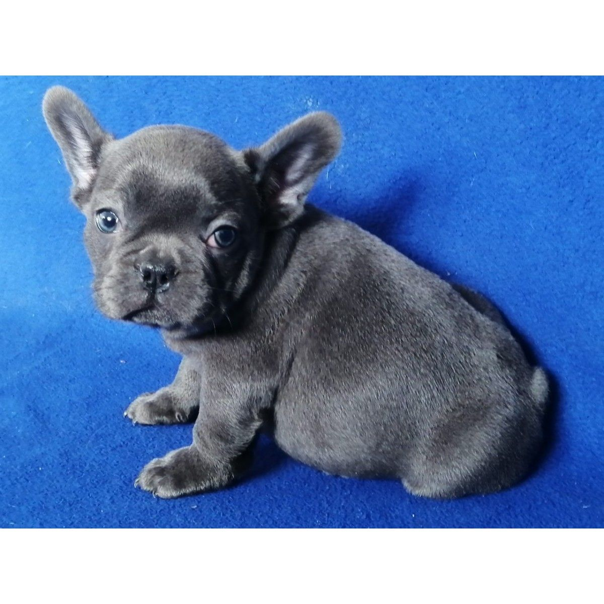 French Bulldog For Sale Florida French Bulldog Bulldog French