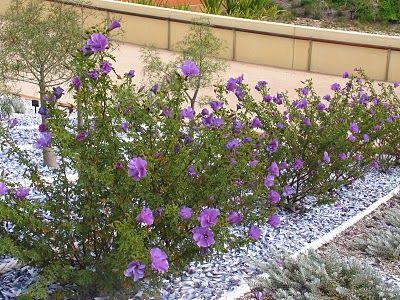 Blue Hibiscus Alyogyne Huegelii Edible Plant Palete Hibiscus