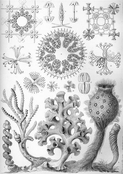 """""""Hexactinellae"""" from Ernst Haeckel's Kunstformen der Natur, 1904"""