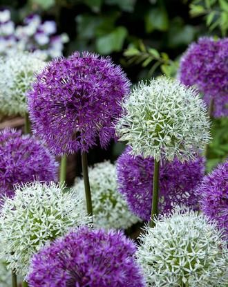 Allium Around The Globe Collection Allium Flowers Bulb Flowers Planting Bulbs