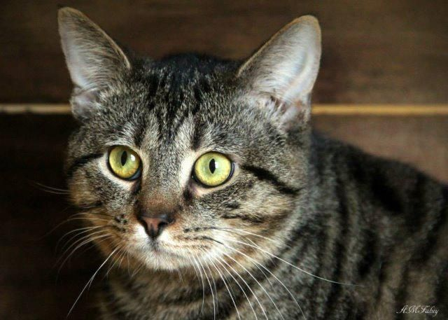 I am a little more shy than my brother Pierre, but just give me a moment ortwo to warm up. I am the perfect gentleman. I'm quiet, calm, polite, andgentle. I would love it if you would look deeply into my eyes and pet my head. Watson was surrendered...