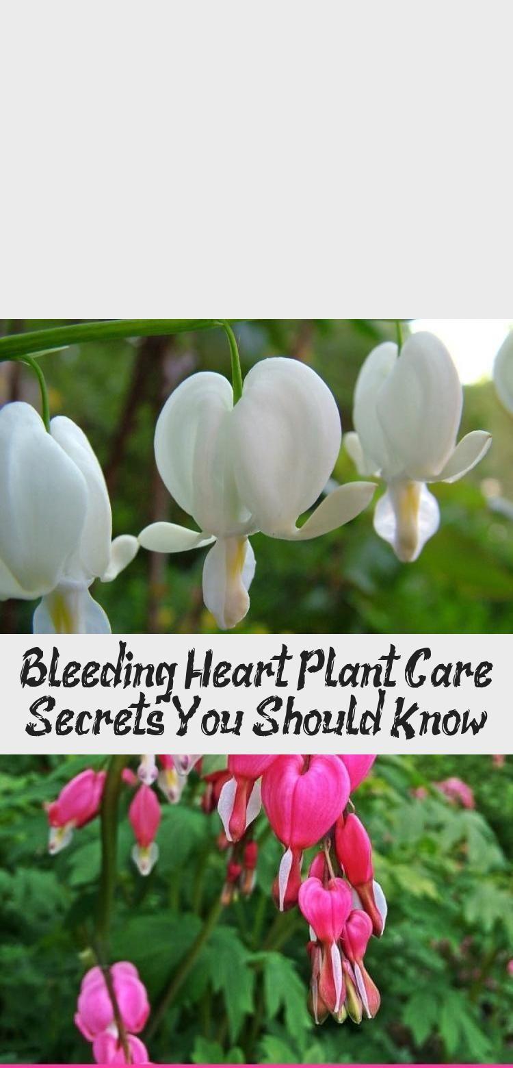 Bleeding Heart Plant Care Secrets You Should Know Pinokyo In 2020 Plant Care Bleeding Heart Plants