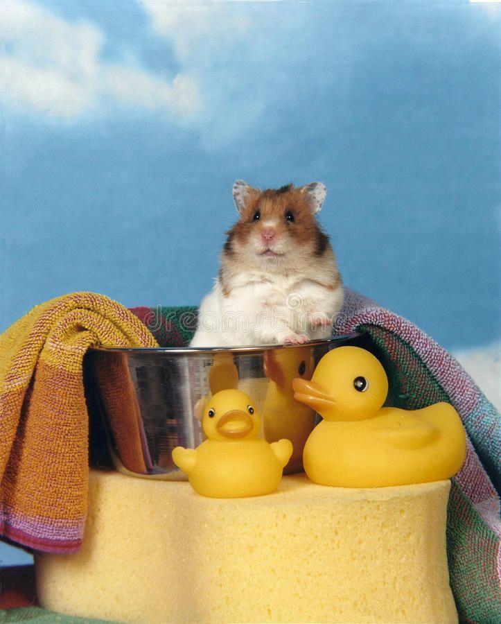 Hamster in a bath tub a teddy bear hamster sitting up in