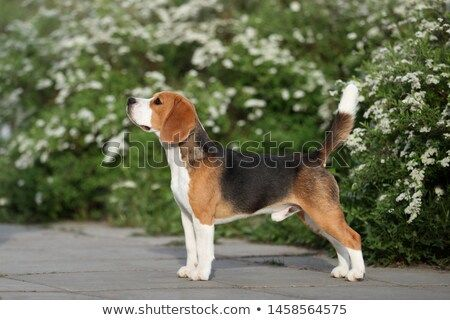 Stock Photo Beautiful Dog Beagle Stands On The Background Of A
