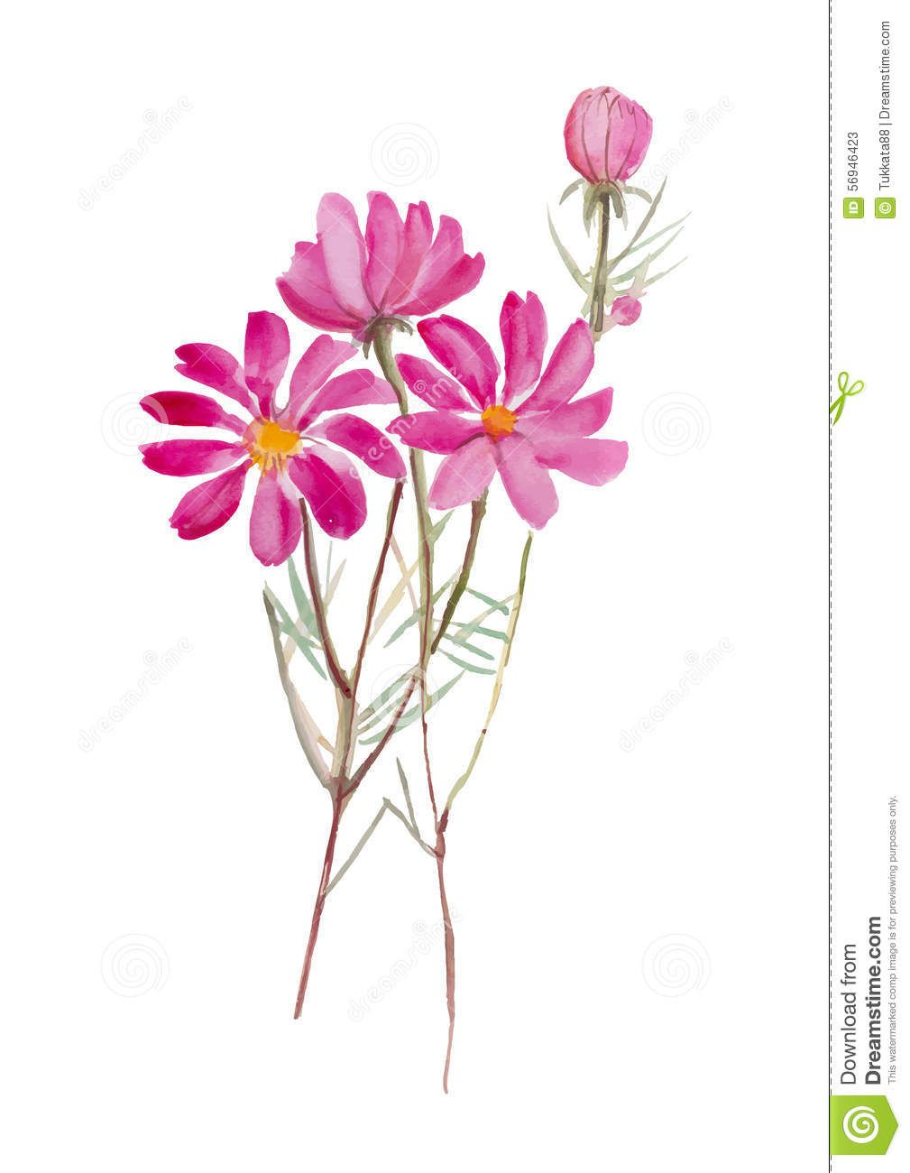 Cosmos Flower Hand Drawn Watercolor Painting On White Background W Watercolor Flower Flowers Water Flower Painting Watercolor Flowers Watercolor Paintings