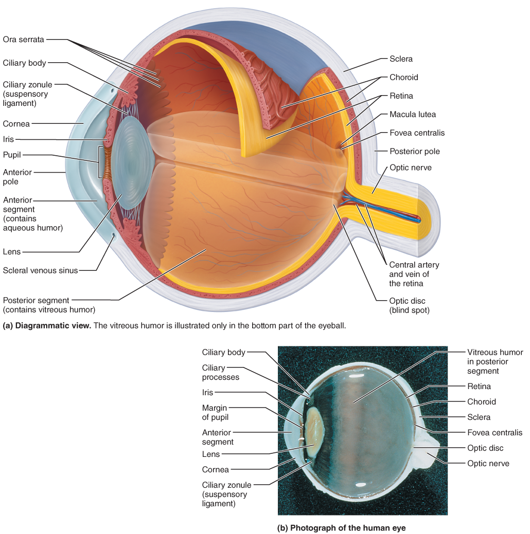 The Eye and Vision | Anatomy | Pinterest