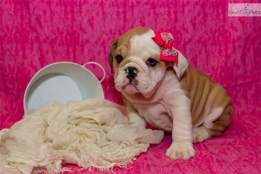 Pictures Of Our Cute Female English Bulldog Puppy Looking For A New Home In 2020