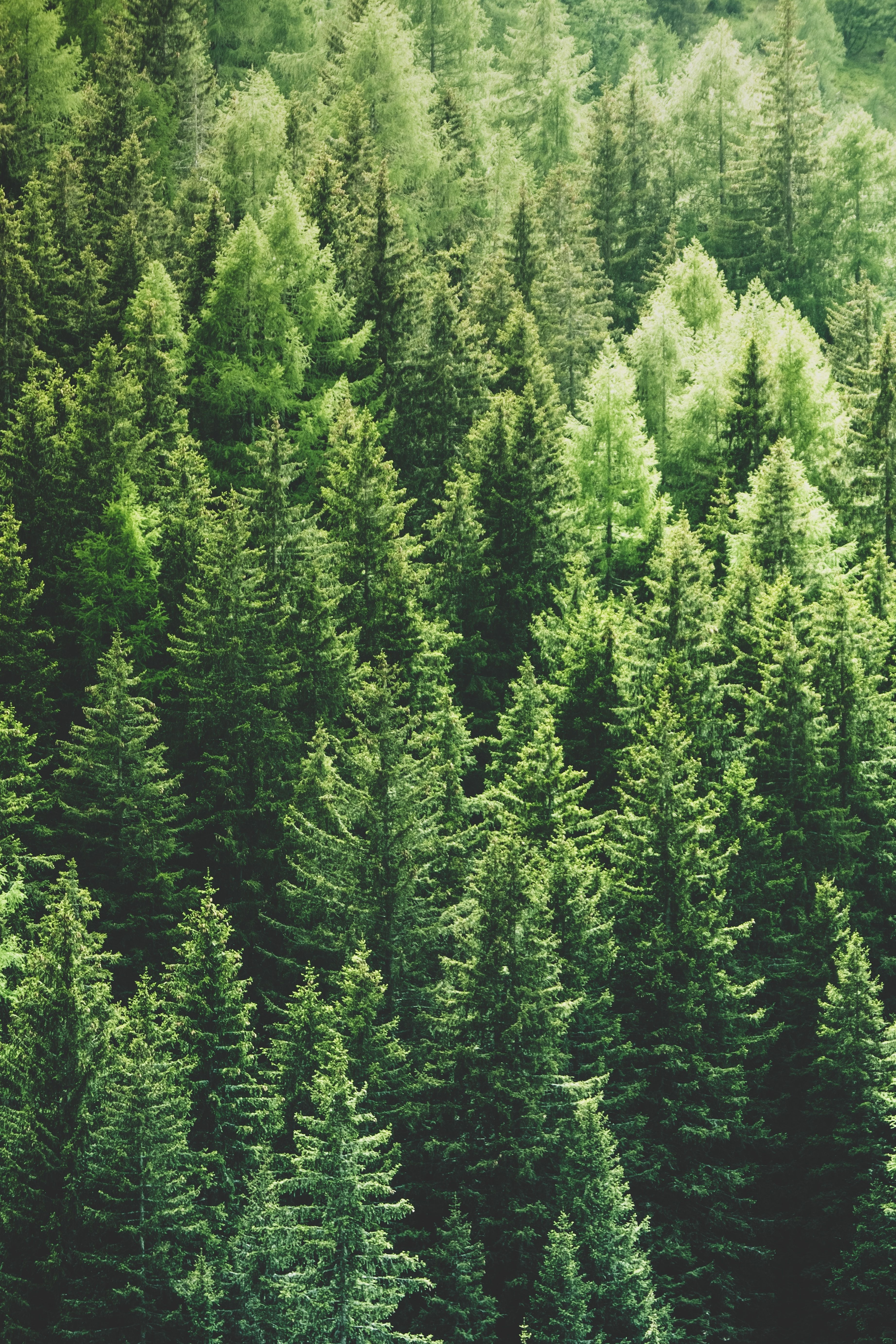 Download 3687x5530 Pine Trees Forest Top View Wallpapers
