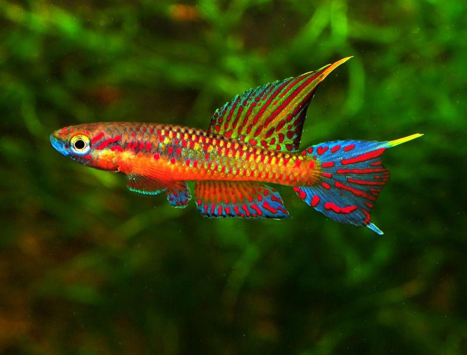 Killifish freshwater fish pinterest aquariums fish for Freshwater exotic fish