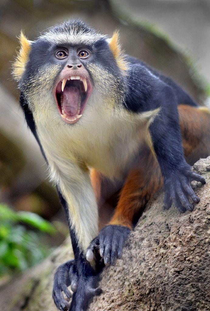Mad Monkey Monkey Business Monkey Animals Pet Monkey
