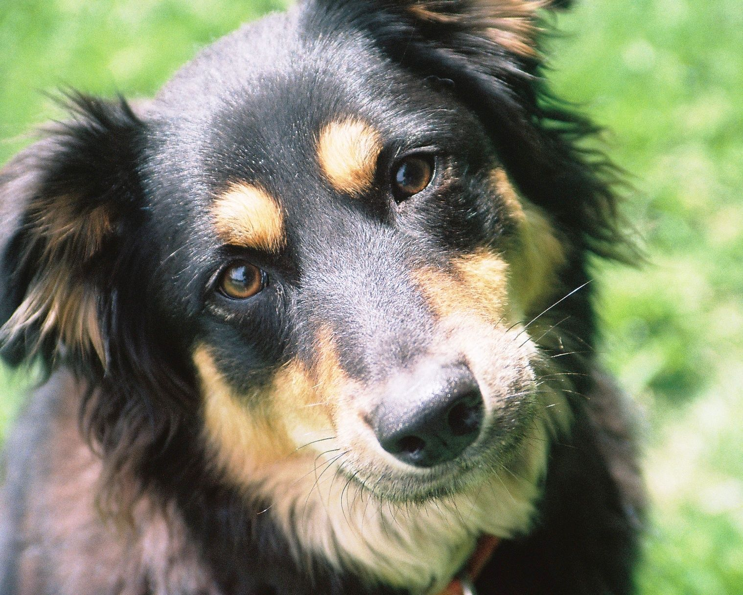 Border Collie Rottweiler Mix Border Collie Dog Dogs Border