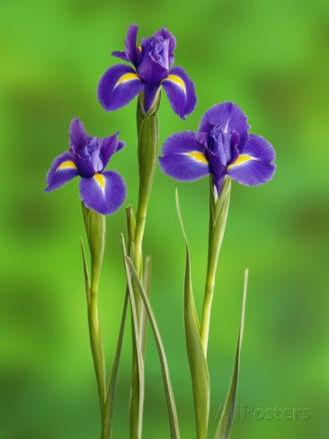 Iris Flowers   flowers   Pinterest   Iris flowers  Iris and Flowers Iris Flowers Photographic Print by Adam Jones at AllPosters com