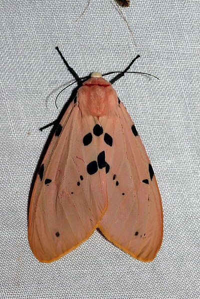 Spilosoma Ericsoni With Images Cute Moth Tiger Moth Bugs And Insects