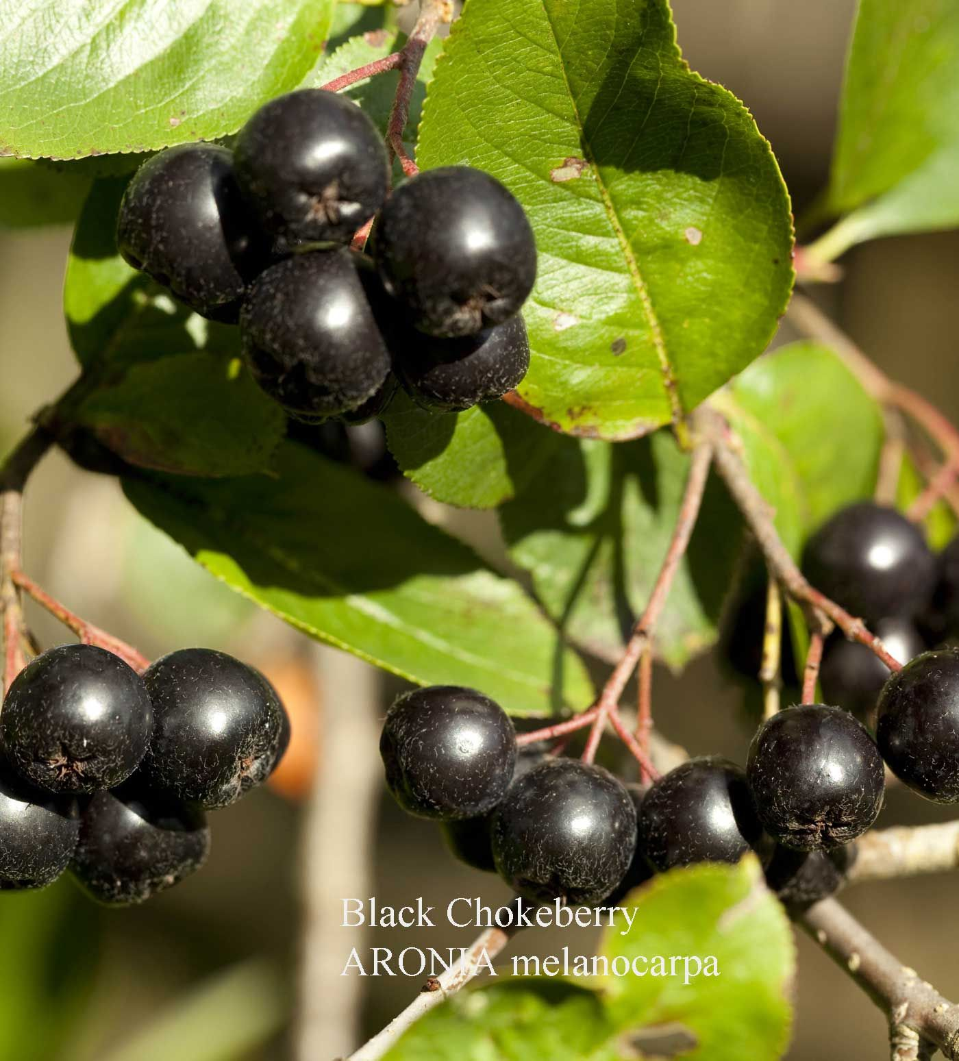 Aronia Melanocarpa Shrub And Vine Seeds Black Chokeberry