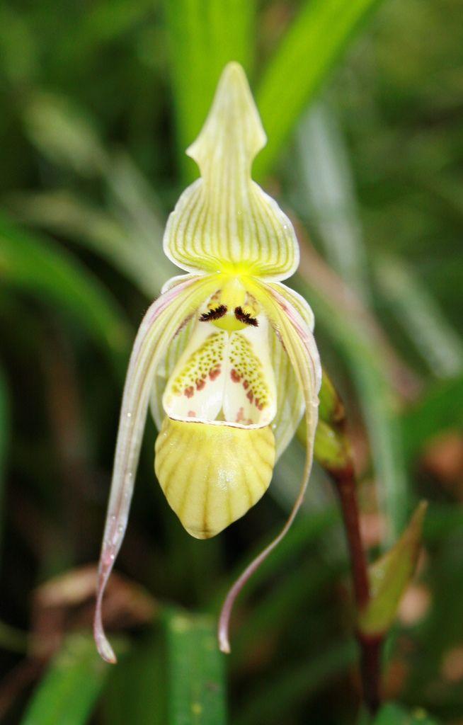 Phragmipedium piercei - In situ in Pastaza valley, Ecuador