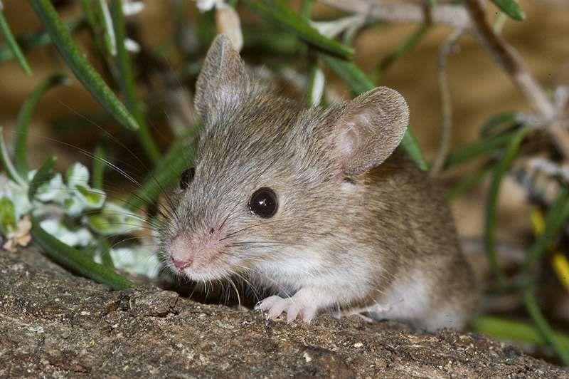 Como Acabar Con Las Ratas En El Campo Como Eliminar Ratones En El Jardin Como Eliminar Ratones Como