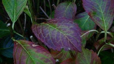 Hydrangea Leaves Turning Purple Treating Hydrangea Leaves That