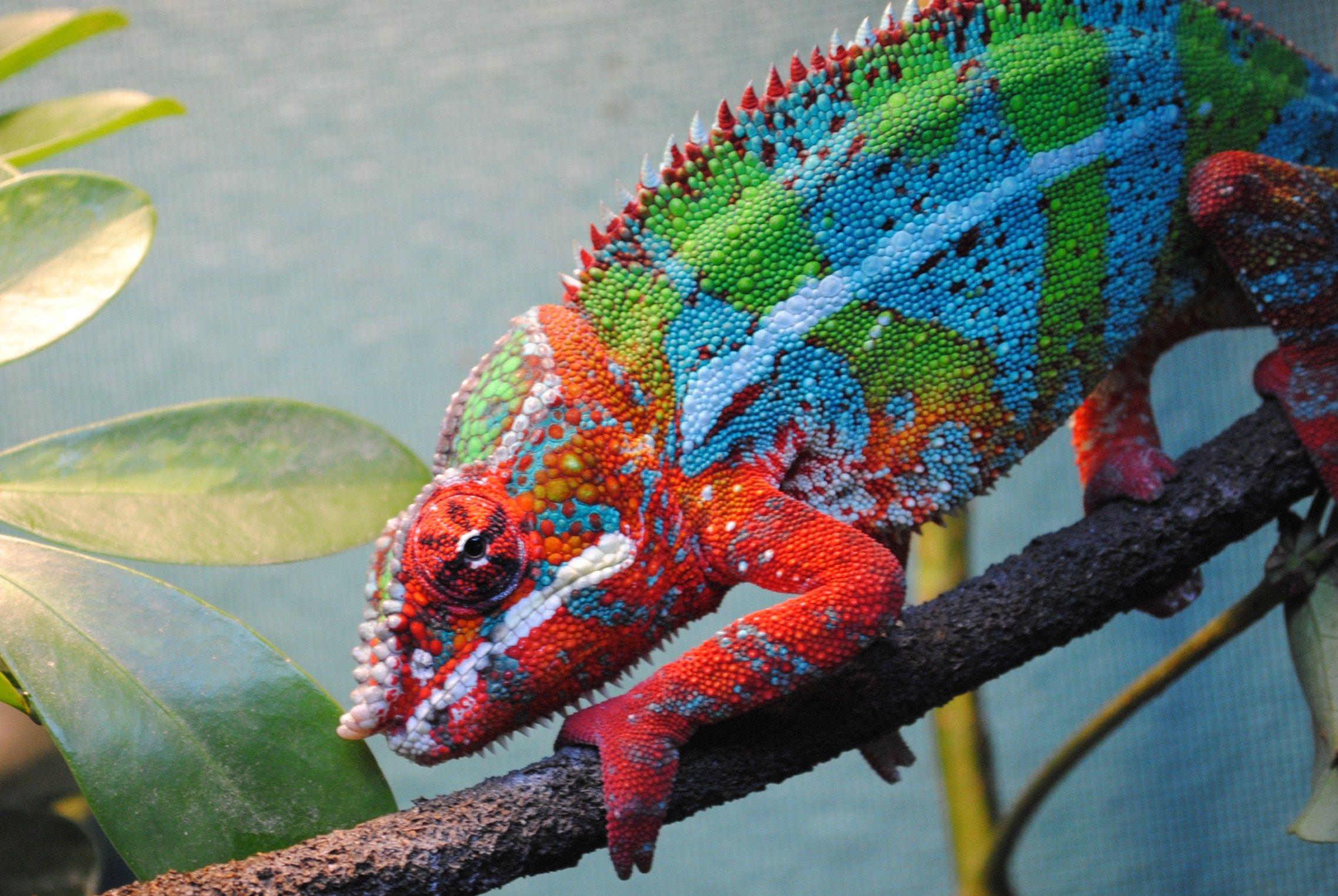 Ambilobe Panther Chameleon | Female Ambilobe Panther ...