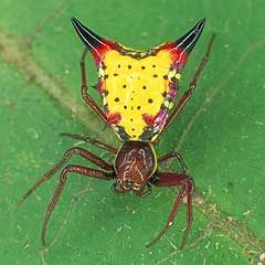 Arrow Spiders Can Be Very Colorful Spiders Spider Species Spider Arachnids Spiders