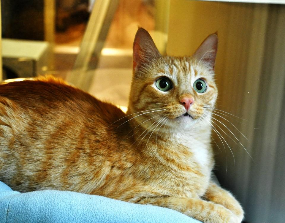 How to Dose and Monitor Hyperthyroid Cats on Methimazole