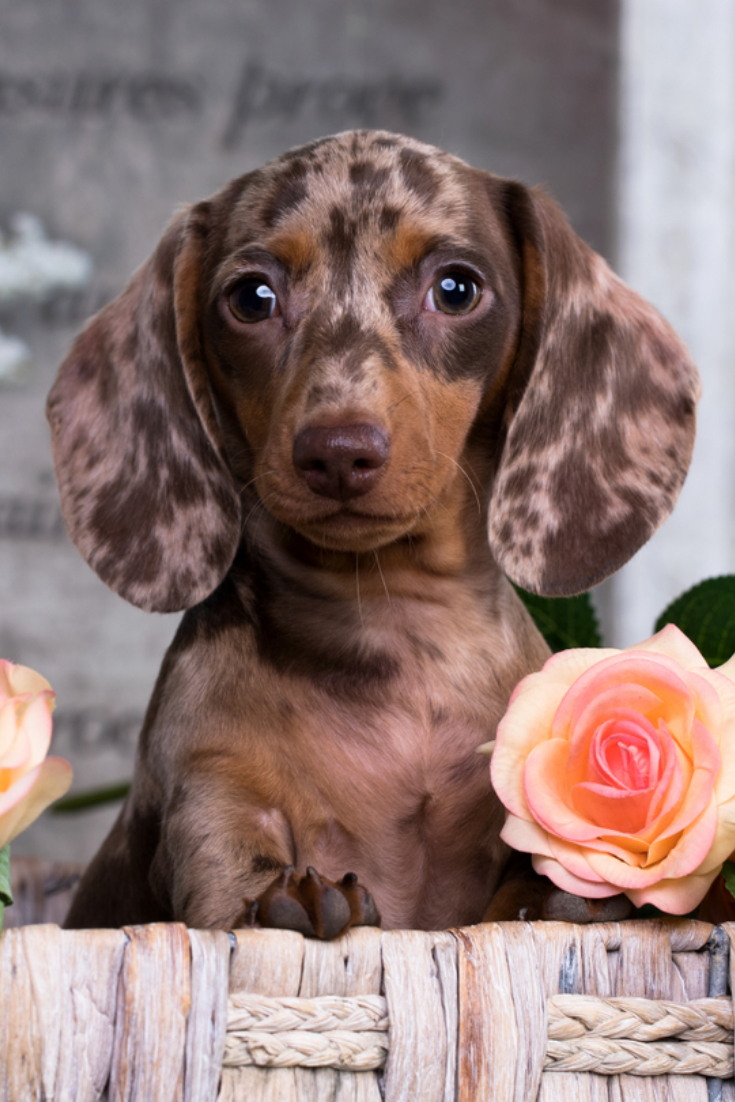 Dachshund Puppy Brown Tan Merle Color And Roses Flower Dachshund Puppy Brown Tan Merle Color And Roses F Dapple Dachshund Dachshund Puppy Brown Dachshund Love