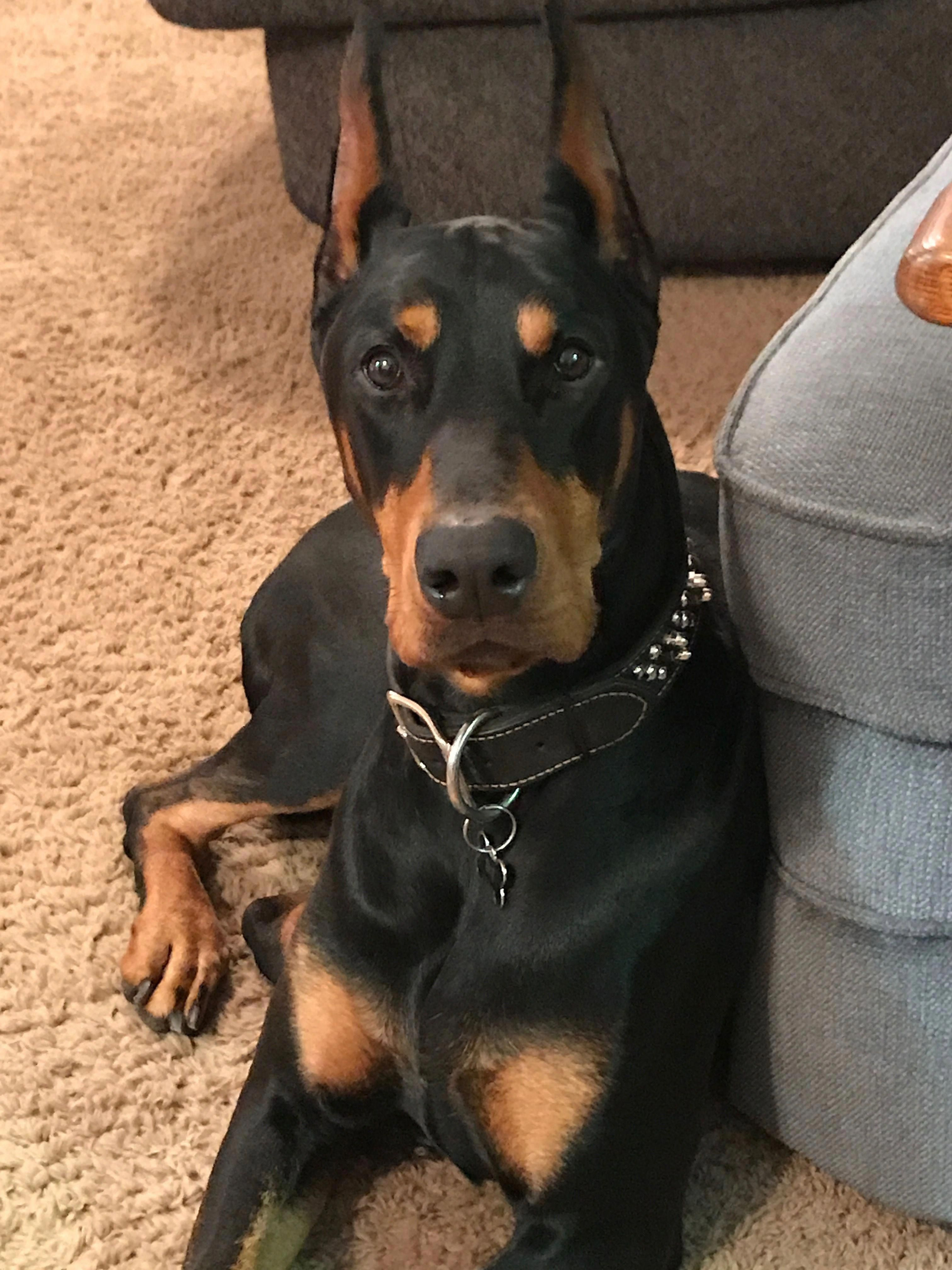 The Energetic Doberman Puppies Temperament Dobermanoftheday Dobermanheart Dobermanpuppy Doberman Dogs Doberman Pinscher Puppy Doberman Pinscher Dog