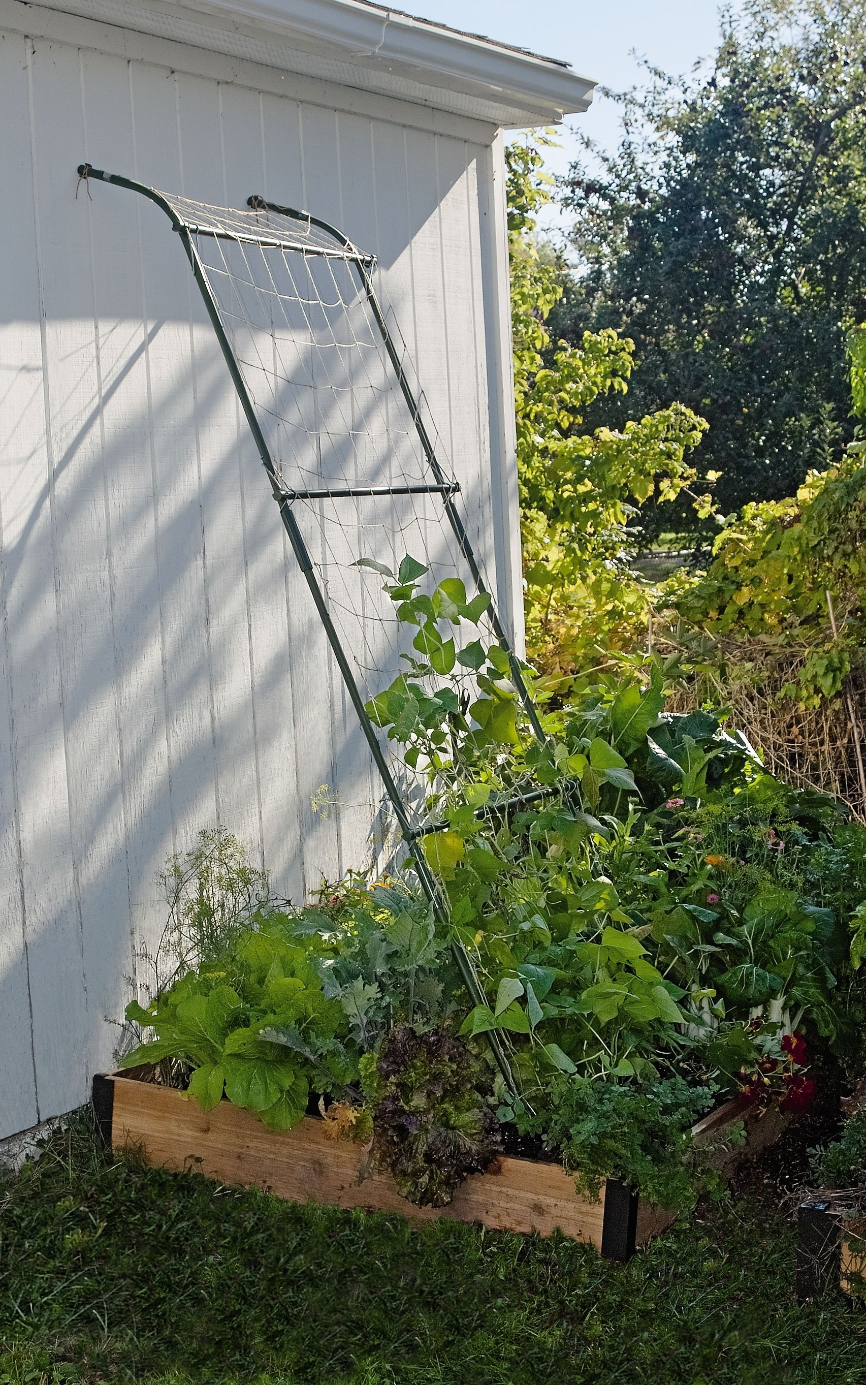 Lean To Trellis   8u0027 Tall Trellis For Beans And Big Vines
