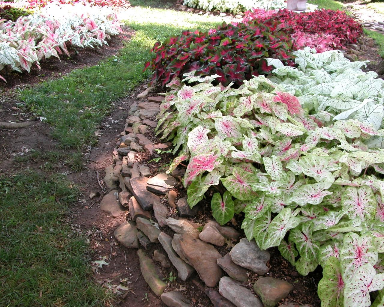This summer bulb has a wide range of colors and performs well in the shade.