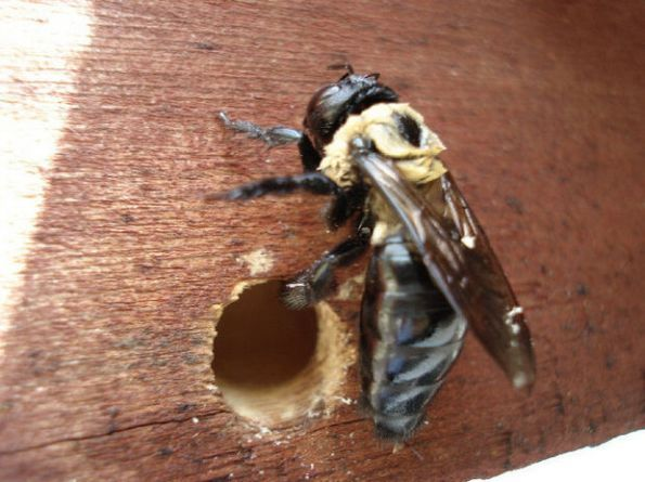 How To Get Rid Of Carpenter Bees Fast Bee Traps Carpenter Bee Carpenter Bee Trap