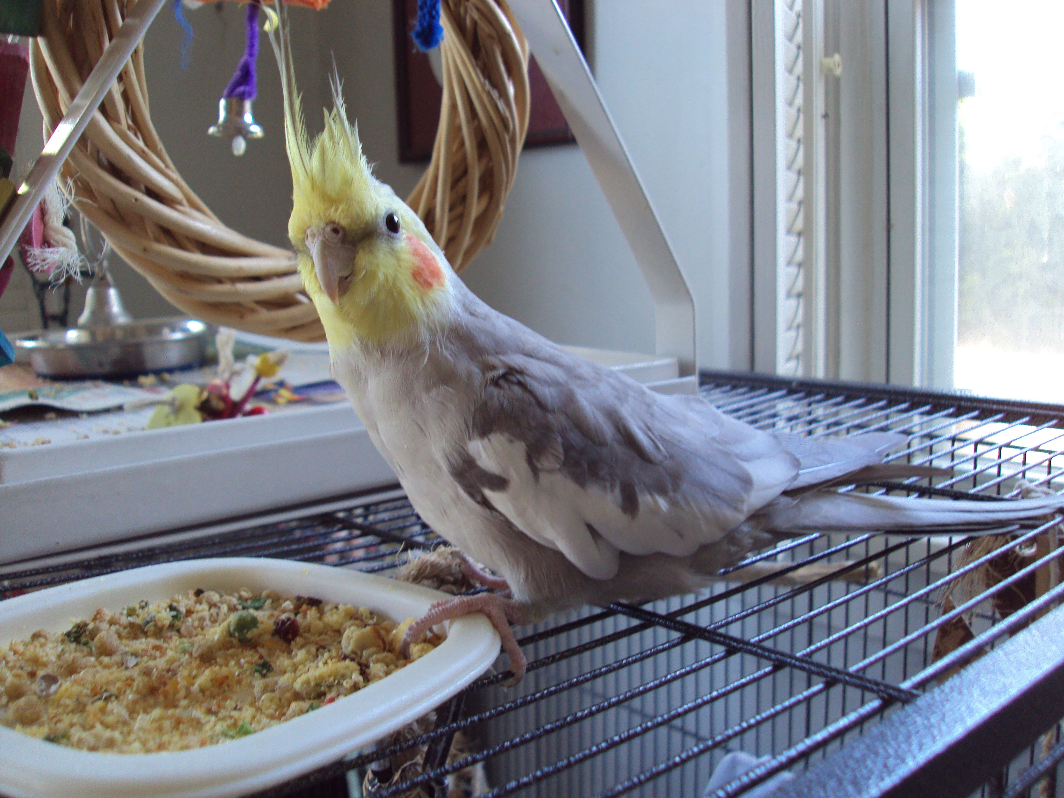 Posts About Cockatiel Nutrition On Bonded With Tiels Cockatiel Cockatiel Care Parrot Perch