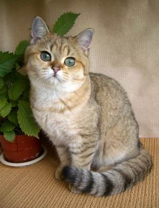 British Shorthair Golden Shaded Pedigree Cats Gorgeous Cats