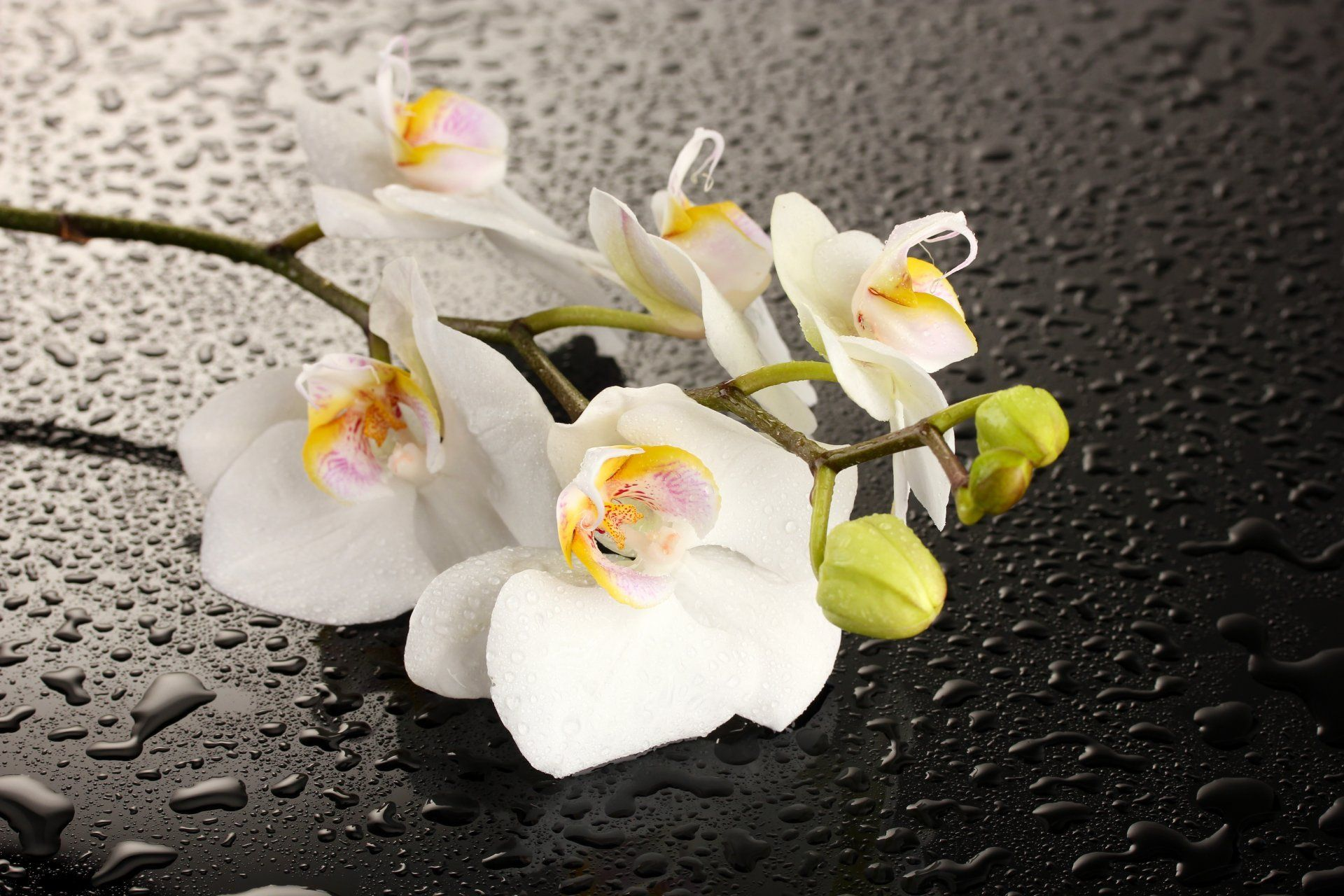 Lovely Orchids HD Wallpaper Flowers Wallpapers