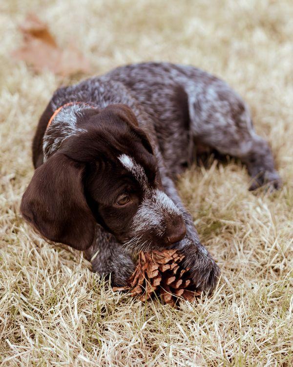 Puppy Love Gracie Deutsch drahthaar, Jagdhunde und Hunde