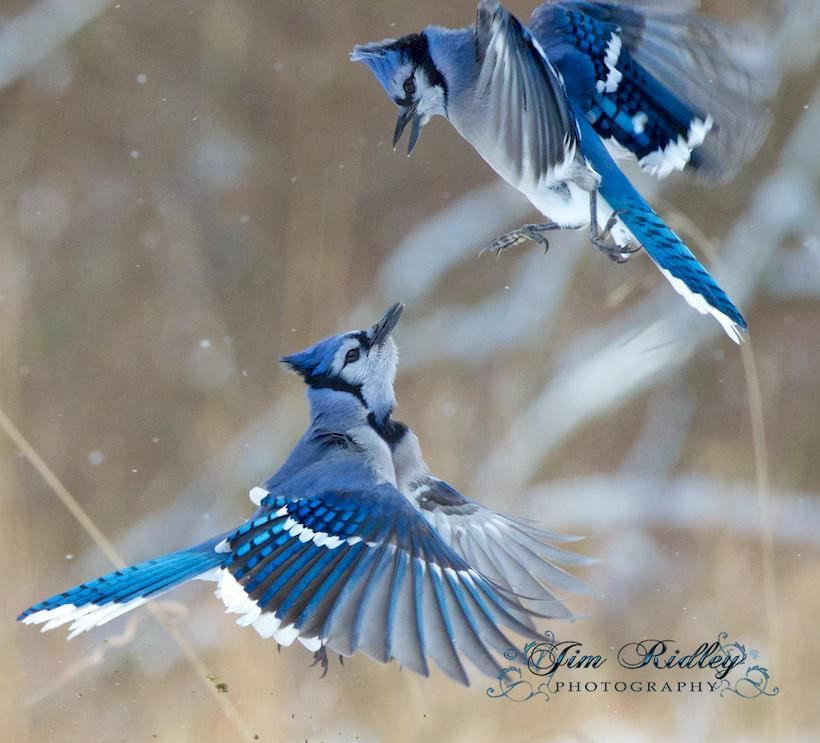 Pin by Awake and Aware on Birds On The Wing Birds, Blue