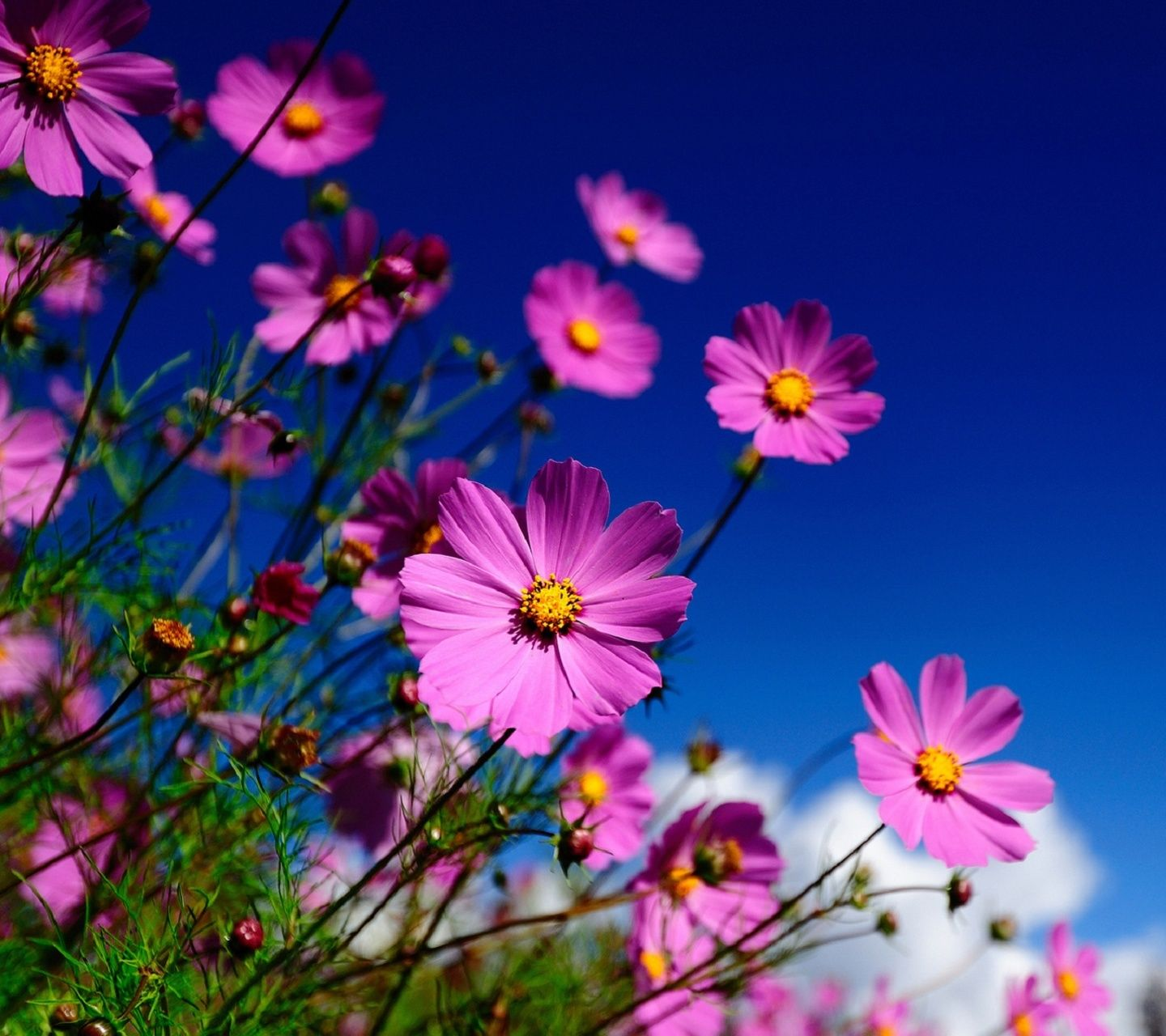 Flowers Wallpapers For Mobile Beautiful Flowers Images Cosmos Flowers Spring Flowers Wallpaper