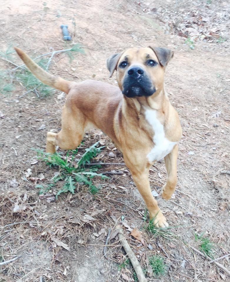 Boxador Dog For Adoption In Grafton Wi Adn 516763 On Puppyfinder